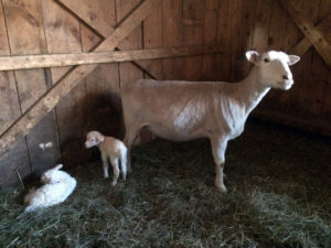 A ewe and a lamb stand in the barn on the Sterling College farm; Sterling College Holistic Livestock Husbandry